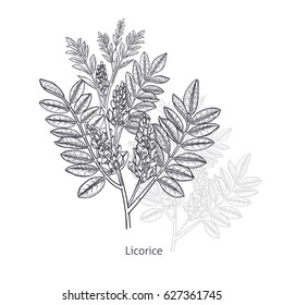 Licorice flower. Medical herbs and plants Isolated on white background series. Vector illustration. Art sketch. Hand drawing object of nature. Vintage engraving style. Black and white.