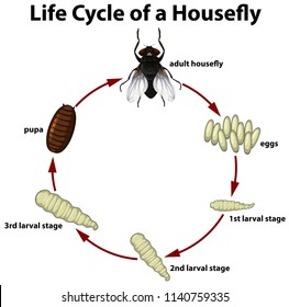 Life circle of a housefly illustration