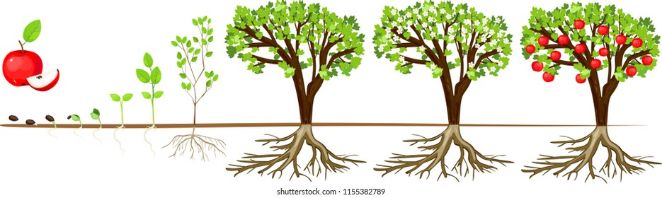 Tree Growth Stages Images, Stock Photos & Vectors