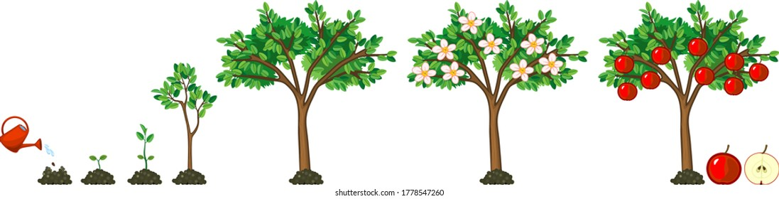 Life cycle of apple tree. Stages of growth from seed and sprout to adult plant with fruits