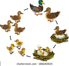 Life cycle of bird. Stages of development of wild duck (mallard) from egg to duckling and adult bird isolated on white background