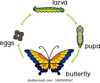 Life cycle of butterfly. Complete (holometabolous) metamorphosis with four distinct phases