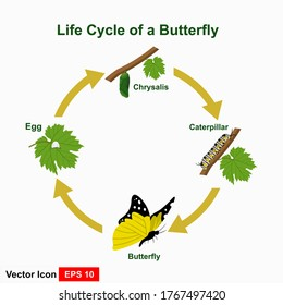 The life cycle of a butterfly in a flat style. Vector illustration of an isolated with white background.