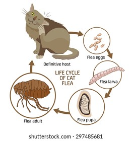 Life cycle of cat flea vector illustration. Spread of infection. Veterinary Medicine Vector. Sick cat vector.