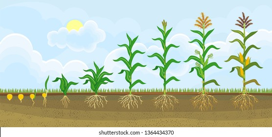 Life cycle of corn (maize) plant. Growth stages from seeding to flowering and fruiting plant