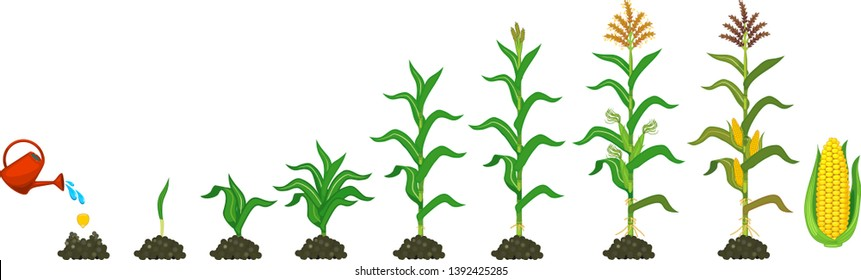 Life cycle of corn (maize) plant. Growth stages from seeding to flowering and fruiting plant isolated on white background