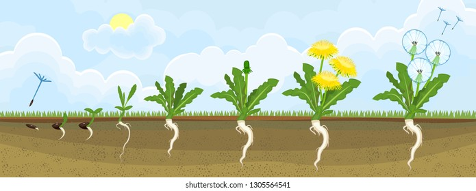 Life cycle of dandelion plant or taraxacum officinale. Stages of growth from seed to adult plant