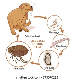 Life cycle of dog flea vector illustration. Spread of infection. Veterinary Medicine Vector. Sick dog vector.