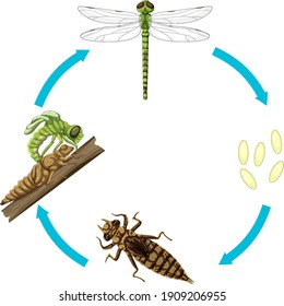 Life cycle of dragon fly on white background illustration