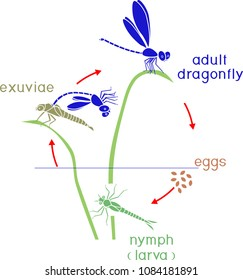 Life cycle of dragonfly. Sequence of stages of development of dragonfly from egg to adult insect
