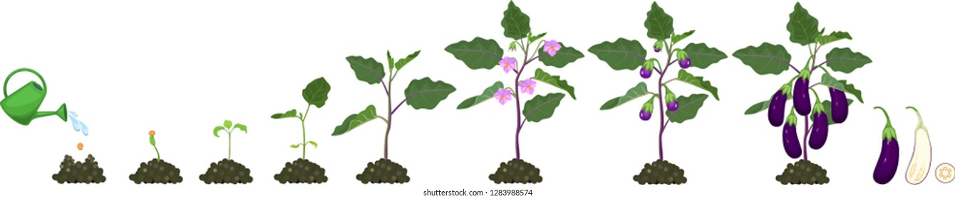 Life cycle of eggplant. Growth stages from seeding to flowering and fruit-bearing aubergine plant