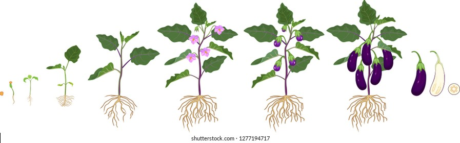 Life cycle of eggplant with root system. Growth stages from seeding to flowering and fruit-bearing aubergine plant