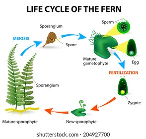 The life cycle of ferns is different from other land plants as both the gametophyte and the sporophyte phases are free living. This illustrates the alternation of generations in ferns.
