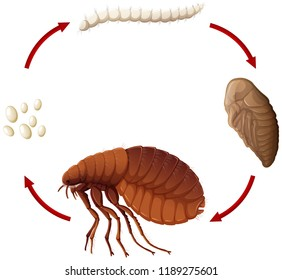 Life cycle of a flea illustration