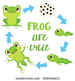 Life cycle of a frog. Cute cartoon wild animal. Egg masses, tadpole, froglet, frog. Educational vector illustration.