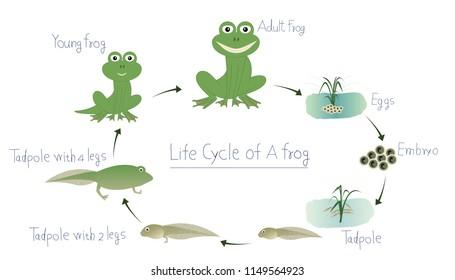 amphibian embryo