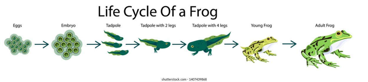 Life cycle of a frog. Vector illustration. Infographic