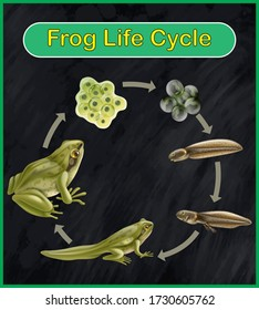 The life cycle of a frog vector. Frog life cycle set vector.