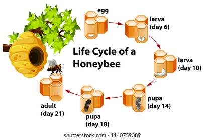 Life cycle of a honeybee illustration