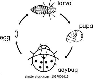 life cycle ladybug coloring page 260nw