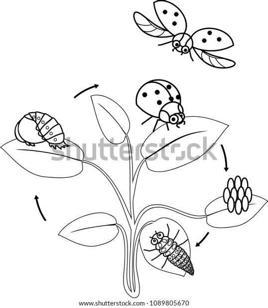 Life Cycle Ladybug Coloring Page Sequence | Animals/Wildlife ...