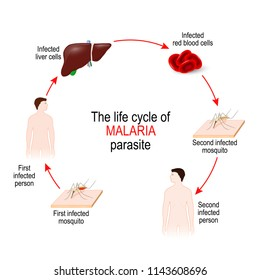 life cycle of a malaria parasite. Malaria is a disease caused by a parasite called Plasmodium that is spread to humans by the bite of an infected mosquito. illustration for medical and educational use