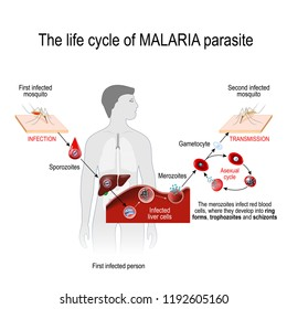 life cycle of a malaria parasite (from First infected mosquito to Second infected person). Malaria is a disease caused by a parasite called Plasmodium