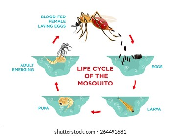 Water cycle diagram images stock photos vectors shutterstock life cycle of the mosquito diagram poster template from egg hatching to larva and pupa ccuart Gallery