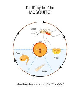 life cycle of the mosquito: imago, eggs, pupa, larva. Anopheles is a genus of the mosquito that transmit human malaria. Vector diagram for scientific, and educational use