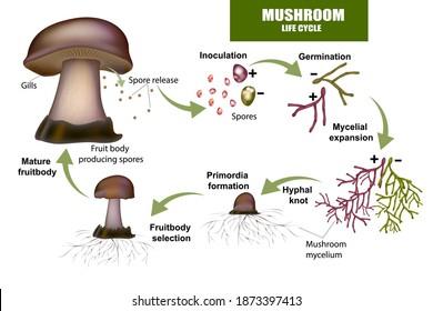 LIFE CYCLE MUSHROOM. Fruit body producing spores, Mushroom mycelium.