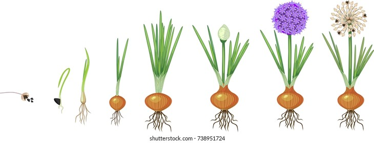 Life cycle of onion. Onion growth stages from seeding to flowering and fruit-bearing plant