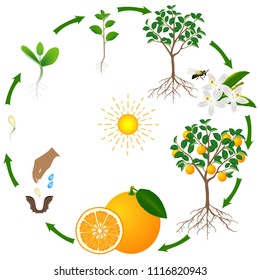 A life cycle of an orange tree on a white background.