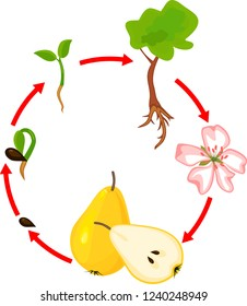 Life cycle of pear tree