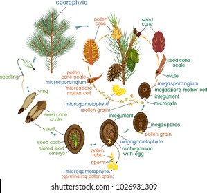 Life Cycle of Pine Tree: reproduction of gymnosperms with titles