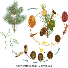 Life Cycle of Pine Tree: reproduction of gymnosperms