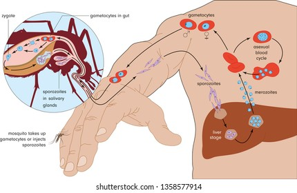 The life cycle of Plasmodium, the causative agent of malaria