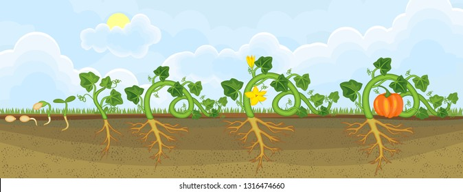 Life cycle of pumpkin plant. Growth stages from seeding to flowering and fruit-bearing pumpkin plant