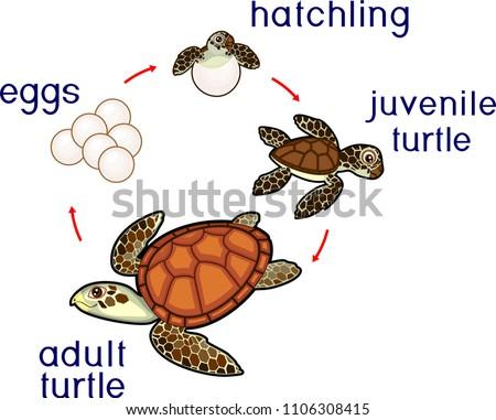 Sea Turtle Life Diagram Blank Trusted Schematics Diagram