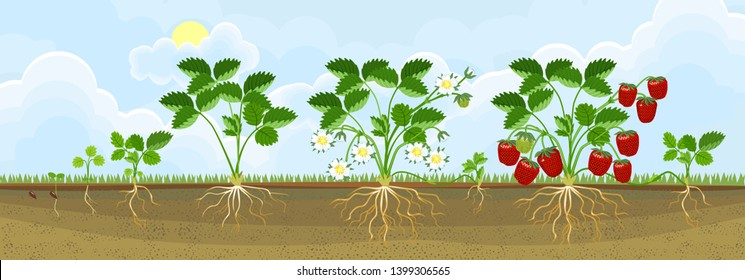 Life cycle of strawberry. Plant growth stage from seed to strawberry plant with ripe red berries in garden