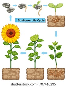 Life cycle of sunflower plant illustration