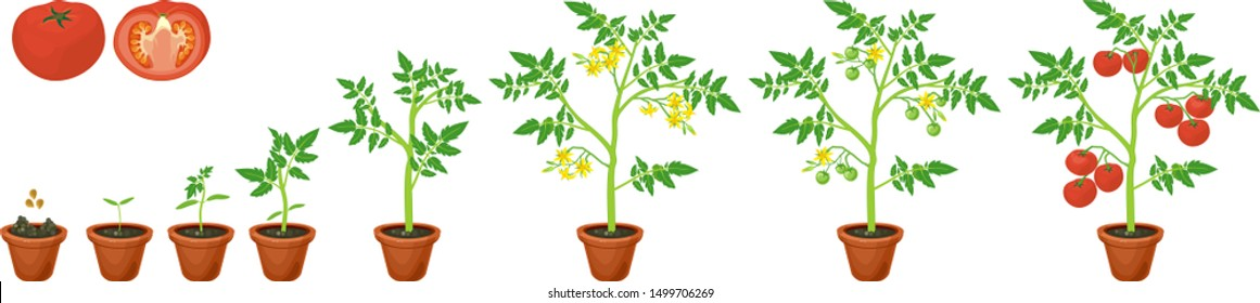 Life cycle of tomato plant. Growth stages from seed to flowering and fruiting plant with ripe red tomatoes isolated on white background