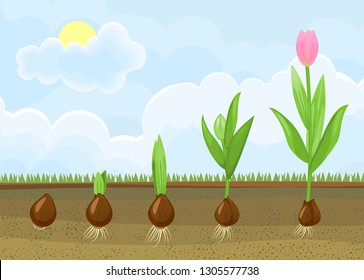 tulip roots images stock photos vectors shutterstock. Black Bedroom Furniture Sets. Home Design Ideas