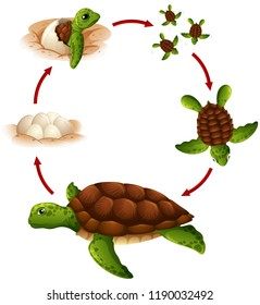 Life cycle of turtle illustration
