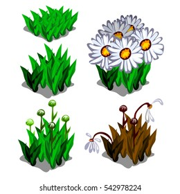 Life stages of Leucanthemum flowers isolated on white background. Seasonal changes in flowerbeds. Vector illustration close-up.