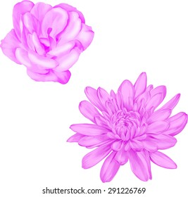 Light pink camellia rose flower. Beautiful colorful pink chrysanthemum flower isolated on white background. Vector illustration