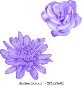 Light purple camellia rose flower. Beautiful colorful purple chrysanthemum flower isolated on white background. Vector illustration