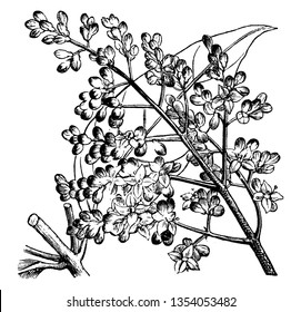 Ligustrum Lucidum is a flowering plant. The flowers are white in color and plant grows eight to twelve feet tall, vintage line drawing or engraving illustration.