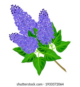 Lilac branch close-up. Vector illustration on white background.