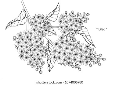 Lilac flower drawing illustration. Black and white with line art on white backgrounds.