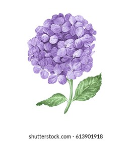 Lilac hydrangea flowers isolated on white background. Hand drawn watercolor drawing.  Botanical vector illustration.